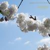 白妙(しろたえ)という名の桜 Cerasus serrulata 'Sirotae'