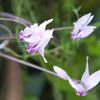 今朝の庭から(原種シクラメン、ヒガンバナ、カラミンサ)