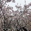 がんばれ、桜。