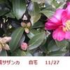 山茶花と茶の木