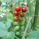 トマトの菜園&天文ライフ