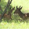 中継シカの影像!札幌市西区住宅街にシカ3頭出没!鹿の目撃場所はどこ?