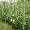 トマトの柵を強化
