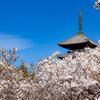 京都・御室 - 御室桜咲く 春の仁和寺