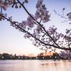 週末に見た桜