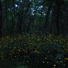 【ホタル撮影】折爪岳のヒメボタル(2回目)