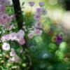小さな花が散らばるように咲くミニバラ