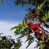 真っ赤なナナカマドの実 鳥甲山