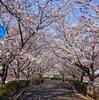 桜の満開はきれいでも いろいろ思う