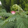 ねむの花         Albizia julibrissin