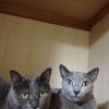 猫マグロ家の2匹の猫