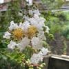 白花サルスベリ咲いた