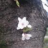 こんなところにも、桜の花が咲きました より。
