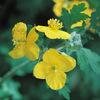 今日の誕生花「クサノオウ」全草毒草で切ると黄色い汁が出る花!