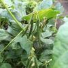 野菜栽培講習会 感温と短日