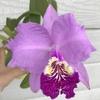 原種カトレア・ルデマニアナの花、色が濃くなりました。春の花々の写真も。