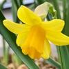 【水仙】開花一番乗り!我が家の花壇に春がきた!