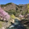 白馬村、大出公園(大出の吊り橋)の春、満開の桜と北アルプスの絶景。
