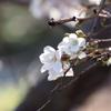 続十月桜/大乗寺丘陵公園