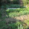 タマネギの移植と家庭菜園の様子