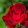 中之島バラ園の薔薇・薔薇・薔薇 その1 【枚数多いです】