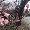 2017.4.3 南信州飯田市の桜開花状況とオススメ桜スポット