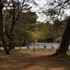 京都御苑のソシンロウバイ。見頃や開花状況。