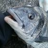 清水 折戸 紀州釣り ヘダイも多いがチヌもいた