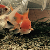 金魚の黒斑  【その後