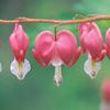 今日の誕生花「ケマンソウ」別名タイツリソウで人気のある花!