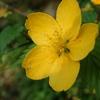 かはづ鳴く甘南備川に影見えて今か咲くらむ山吹の花