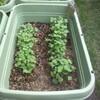 種まきから1週間たちました