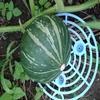 F1品種のミニカボチャから採取した種から栽培すると?~遺伝の法則を思い出した!~