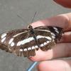 ミスジチョウとコミスジ 白い線を持つ蝶の違いとは?