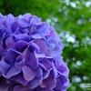 2017年紫陽花を撮りに