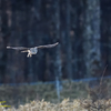 フクロウ飛翔