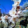 越生梅林の開花状況と周辺の観光【帰りは温泉へGO】