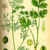 日本には10世紀頃に渡来した。英語由来のコリアンダー(coriander)、タイ語由来のパクチー、中国語由来のシャンツァイ(香菜