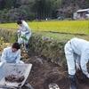 里芋の収穫