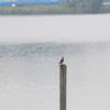 魚捕りに精を出す手賀沼公園のカワセミ