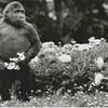 【ポスクロ】オーストラリアの霊長類学者さんへゴリラのカード送付