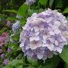 そろそろ見納め、紫陽花