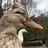 宝ヶ池プリンス滞在中❹ 宝ヶ池公園にはとっても可愛い鴨がいます♪ 鴨の写真集のような記事です。