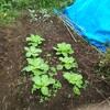 白菜の栽培記録