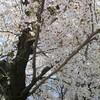 見納めの桜と「外出自粛と現金給付はセット」は何の為か(戦略と戦術)