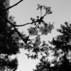 飯田橋サクラテラスで舞い散る桜