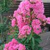 【外構】夏の花【庭】