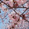 きょうの桜レポート 2017【第7回】