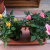 バラの花を買いました♪テンションup♪