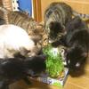 我が家の8匹の猫に「豆苗」を初めて与えてみたよ~!【動画あり】